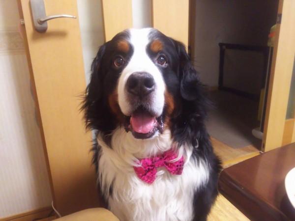 バーニーズマウンテンドックの看板犬 テラ君が6歳の誕生日を迎えました♪